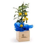 241987_large-lemon-tree-planter-gift